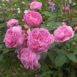Чайно-гибридная роза Аленушка относится к достаточно новым сортам