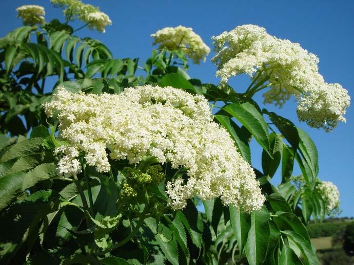 Бузина приобретает особенно декоративный вид на стадии цветения и плодоношения и очень удачно дополняет практически любые групповые посадки