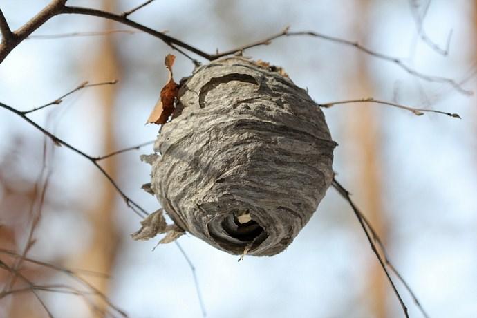 Большое количество диких пчёл на приусадебной территории позволяет предположить непосредственную близость расположения их гнезда, поэтому нужно очень внимательно осмотреть все строения