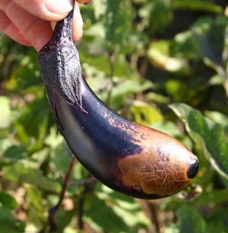Болезни и вредители на рассаде и уже взрослых кустах баклажана встречаются разные