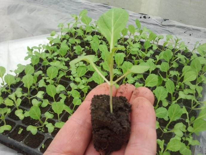 Высев капусты на рассаду может предполагать дальнейшую пикировку