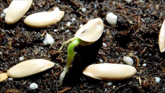 Проращивание семян и их предпосевная обработка являются обязательным условием при выращивании дыни
