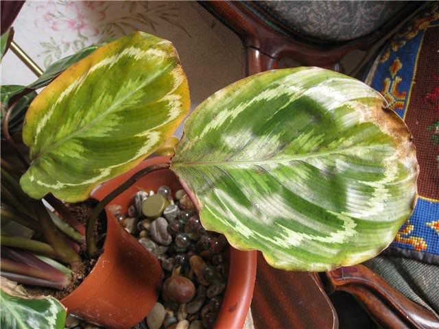 Если страдают только кончики листьев калатеи, то цветку не хватает влаги в воздухе