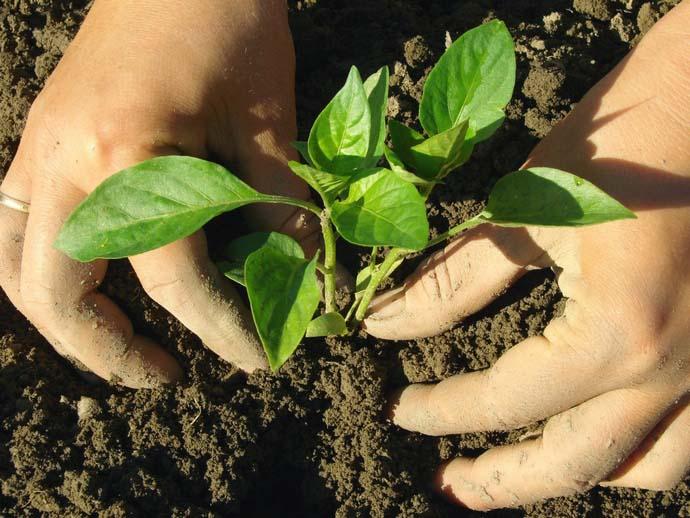 К высадке перца приступают, когда на растениях будет от 7-12 листочков