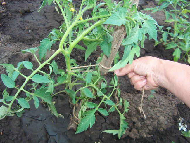 Необходимо осуществить подвязывание надземной части растения к шпалере