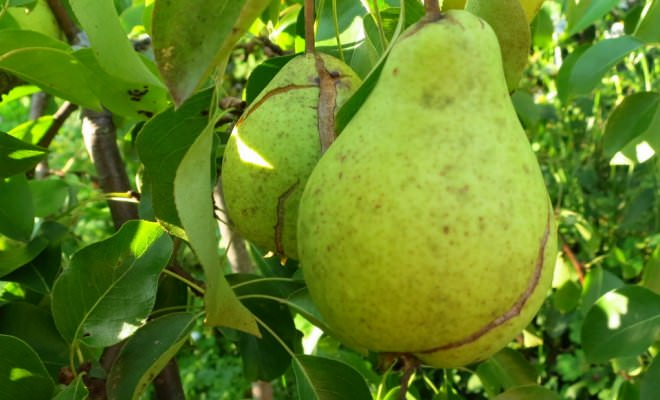 Чаще всего трещины на плодах груши появляются в длительный засушливый период, который сменяется сильными и продолжительными дождями