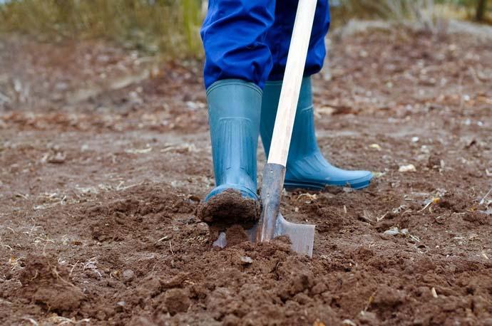 Землю под посев петрушки нужно начинать готовить в августе после уборки предшествующих культур