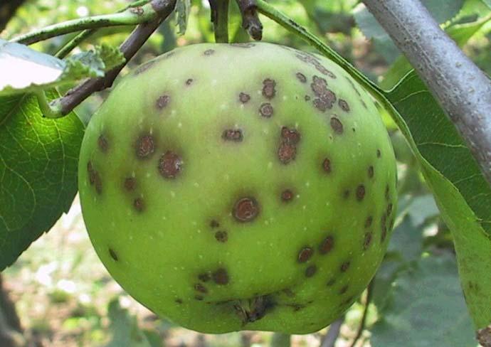 Чтобы правильно лечить пораженное растение, следует своевременно обнаружить появление болезни и оценить масштаб вредоносности