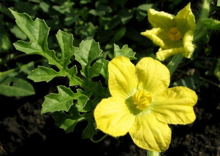 Значительная часть бахчевых культур обладает стелющейся и достаточно длинной стеблевой частью, а также характеризуется большими листьями и крупными желтыми цветками