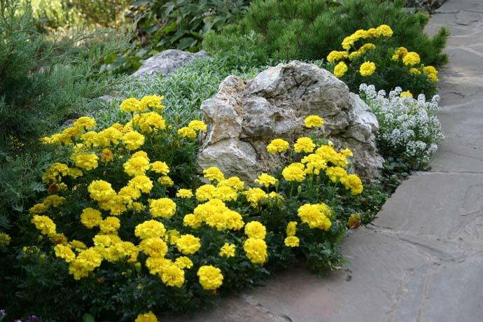 Хорошо окаймлять бархатцами садовые дорожки