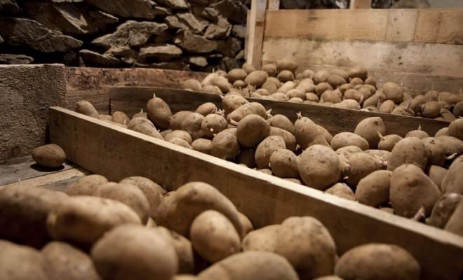 Сохранить урожай картофеля до весны без потерь – задача сложная, но вполне осуществляемая