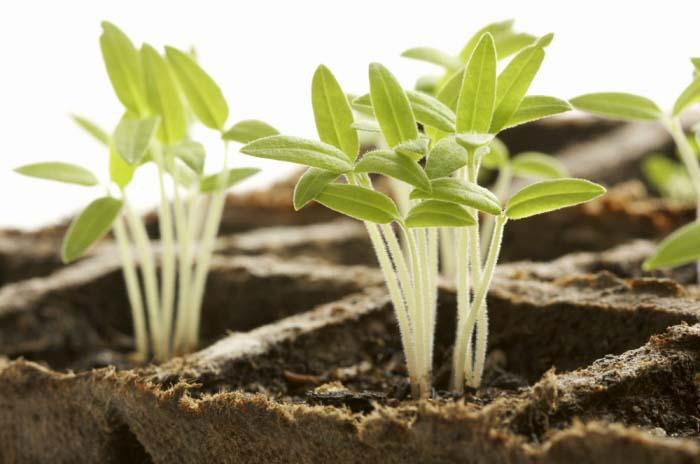 После появления первых всходов емкости с посевом следует установить на хорошо освещенное окно