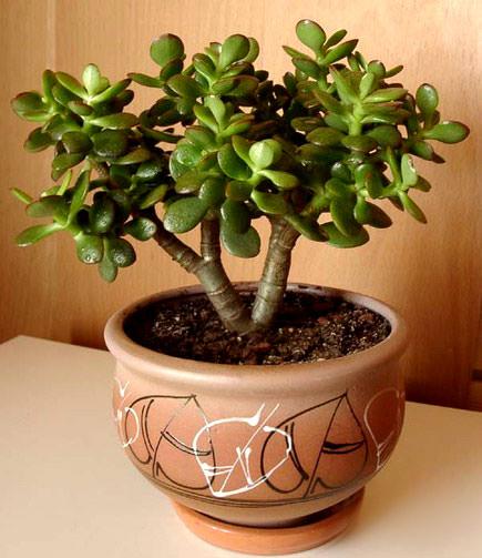 Денежное дерево обладает большим количеством полезных и лечебных свойств