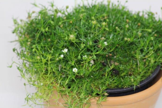 В цветочных магазинах можно приобрести готовый рассадочный материал мшанки шиловидной