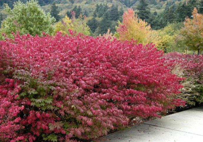 Бересклет форчуна, японский, почвопокровный, ядовитый, посадка и уход в саду, открытом грунте,