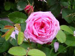 Широко используются лечебные свойства цветов шиповника
