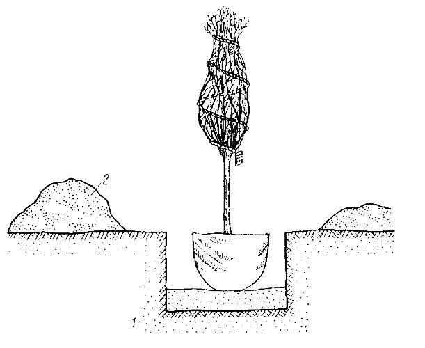 Посадка можжевельника скального производится способом переваливания