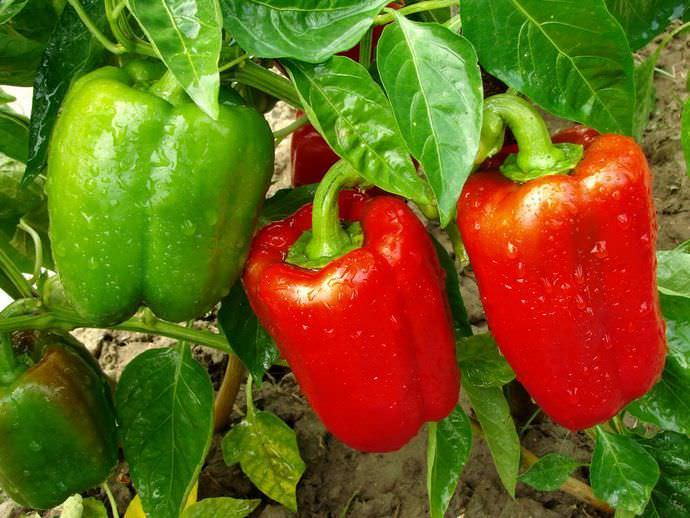 Многолетнее полукустарниковое растение болгарский перец выращивается в большинстве стран в качестве однолетней овощной культуры