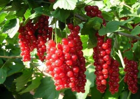Смородина — вкусная и полезная ягода, но выращивание ее трудоемко