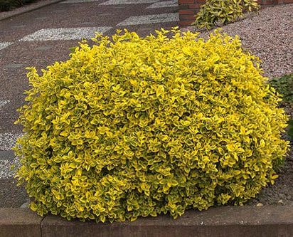 Бересклет — растение, относящееся к семейству Бересклетовые