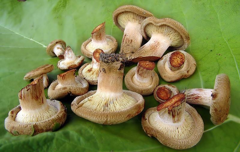 грибы фото свинушка