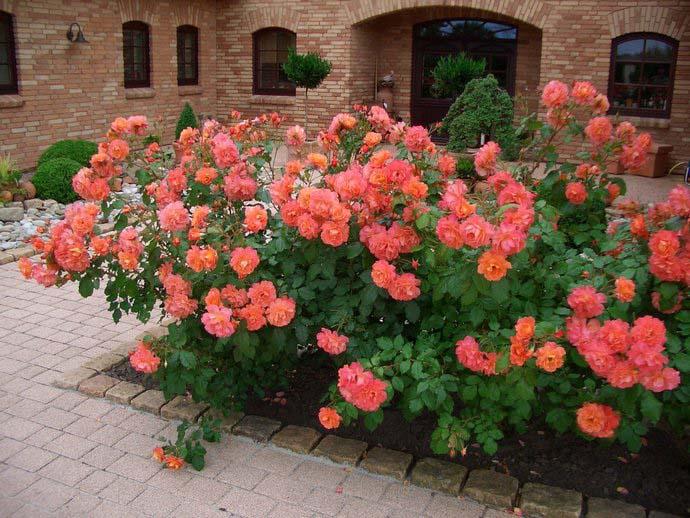 Для розы сорта Вестерленд характерно повторное цветение, что позволяет ему сохранять декоративность на протяжении всего летнего периода
