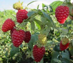 Штамбовая малина стала известна отечественным садоводам относительно недавно