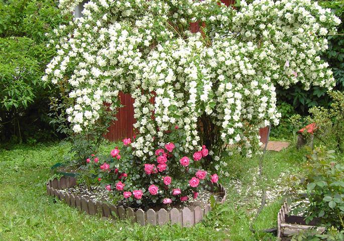 Чубушник отлично смотрится в ландшафтном дизайне и в одиночных посадках, так как цветет он очень красиво