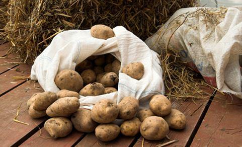 Выкопанный в осенний период картофель необходимо правильно заложить на хранение до весны