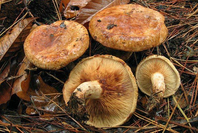 На сегодняшний день гриб Свинушка классифицируется как ядовитый, и при его приеме в пищу нередко отмечаются летальные исходы