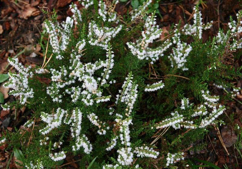 Белоцветковые сорта вереска предпочтительнее выращивать в приусадебном ландшафте