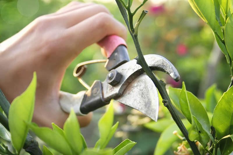 Правильно проводимая обрезка взрослого куста позволяет получить высокодекоративное и компактное растение с минимальными затратами времени и сил