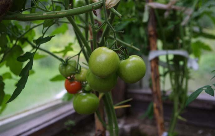 Чтобы предотвратить поражение томатных кустов фитофторозом, необходимо строго контролировать показатели влажности воздуха и температурный режим в теплице посредством регулярного проветривания