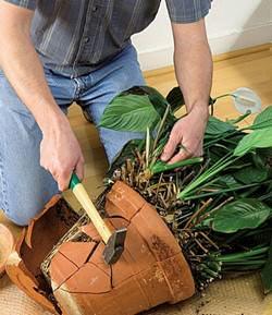 Правильная пересадка спатифиллума является гарантией здоровья комнатного растения