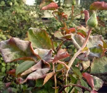 Мучнистая роса на розах относится к числу наиболее распространенных заболеваний