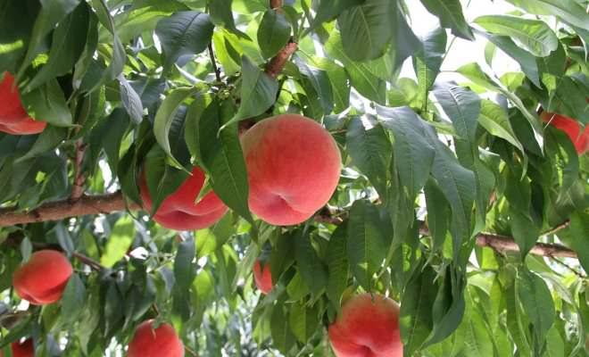 Продуктивность персиковых насаждений во многом зависит от качества и своевременности ухода за деревьями