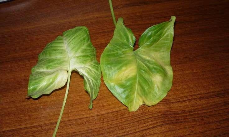 Если в процессе роста у сингониума желтеют листья, то это чаще всего связано с нехваткой полезных микроэлементов