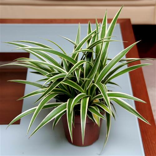 Неоспоримая польза хлорофитума для дома обусловлена его ботаническими особенностями