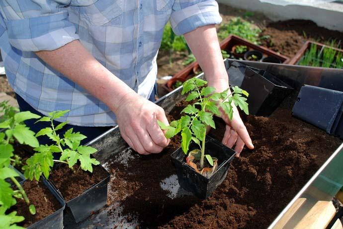 Томаты Верлиока и Верлиока плюс рекомендуется выращивать рассадным способом