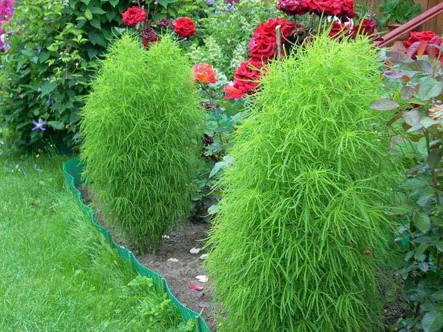 Кохии не прихотливы к почвенным составам и хорошо растут на любых окультуренных грунтах, за исключением слишком кислых и переувлажненных