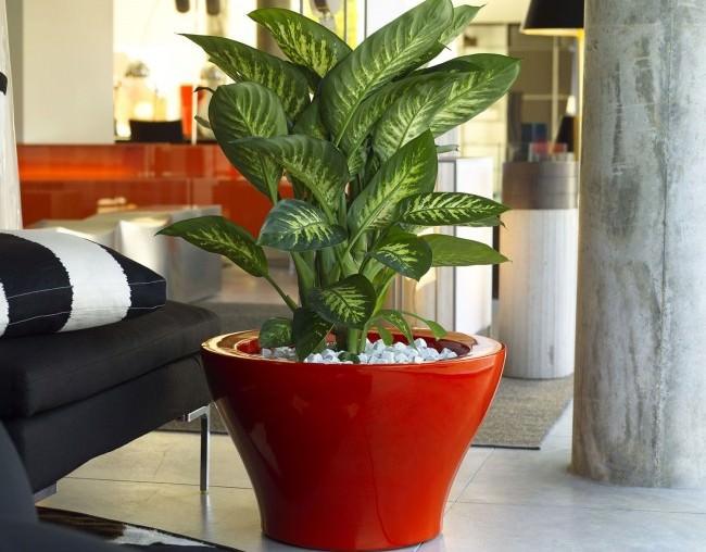 Диффенбахия пятнистая хорошо растёт и развивается исключительно в теплых условиях, при температурных условиях не ниже 18-20°C