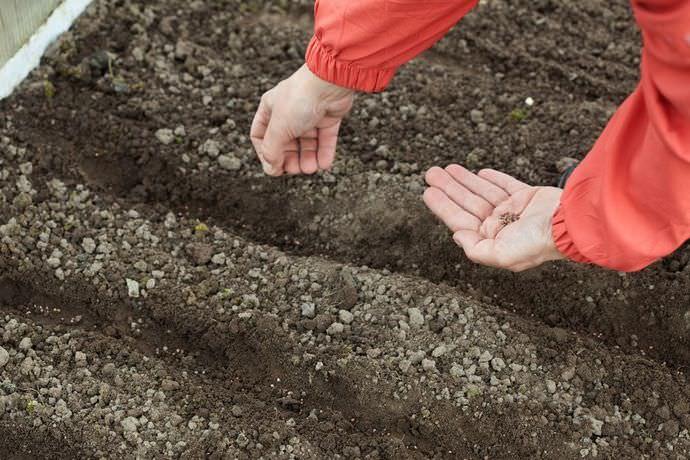 Когда сажать перец в 2018 году: схема посадки, по лунному календарю, посев под зиму, сеять сегодня на рассаду, таблица