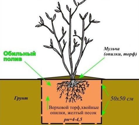 Лучше всего подходят для выращивания голубики смеси на основе кислого торфа и песка