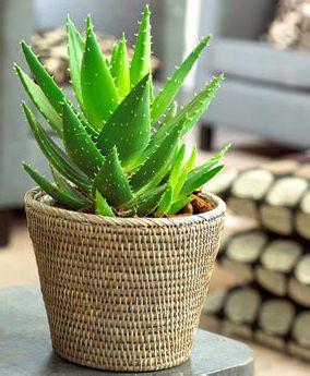 Столетник (алоэ) — растение, которое выращивают в домашних условиях не одну сотню лет