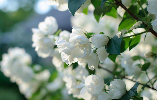 Жасмин садовый широко распространено на участках садоводов