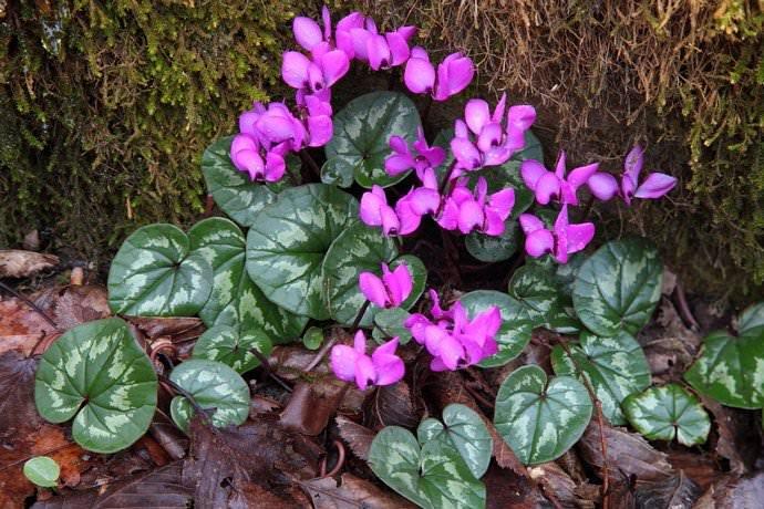 Садовые, или уличные, цикламены чаще всего обладают характерными сердцевидными или округлыми листьями с зубчатыми или волнистыми краями