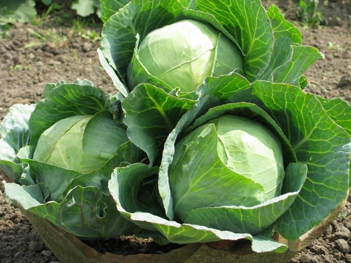 Особенно вкусна и полезна июньская капуста, имеющая наиболее нежные и сочные листочки