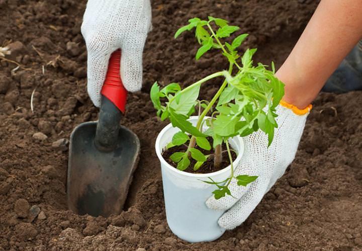 Пересаживать томаты Ямал следует в вечерние часы или в пасмурную погоду
