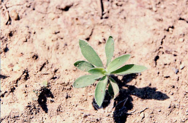 При выращивании кохии необходимо помнить, что эта популярная декоративная культура в природных условиях предпочитает полупустыни и степи