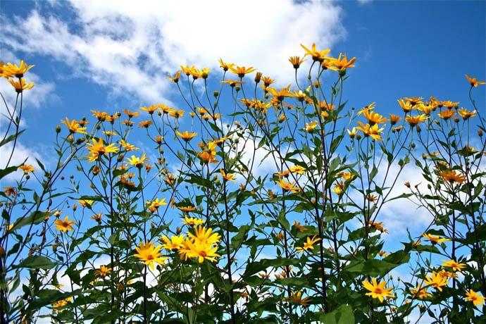 Цветение у топинамбура обоеполое, приходится на период с августа до второго осеннего месяца